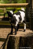 Nigerian Pygmy goat kid surveying the landscape at Fox Hollow Farm