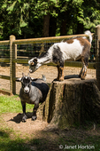 Two Nigerian Pygmy goats at Fox Hollow Farm