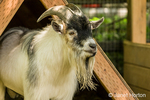 Nigerian African Pygmy Goat at Fox Hollow Farm