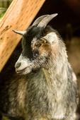 Portrait of a Nigerian African Pygmy Goat at Fox Hollow Farm