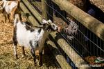 Toddler boy feeding a Nigerian Pygmy goat at Fox Hollow Farm