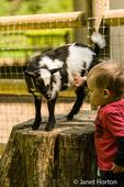 Boy petting Nigerian Pygmy goat kid at Fox Hollow Farm