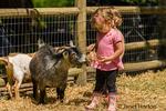 Toddler girl feeding hay to a Nigerian Pygmy goat at Fox Hollow Farm