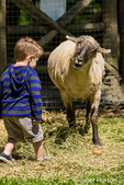Sheep looking like it is trying to communicate with a young boy at Fox Hollow Farm