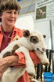 Woman holding a Katahdin Hair lamb at the Mother Earth News Fair