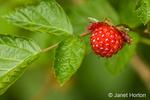The yellow or reddish mushy salmonberries are edible