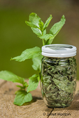 Jar of freshly dried and fresh Mojito Mint on a picnic table