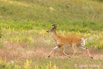 Whitetail Deer buck running