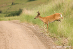 Whitetail Deer buck about to cross a dirt road