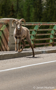 Male Bighorn Sheep on the Icefields Parkway highway