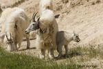Mountain Goats at a salt lick
