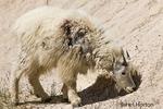 Mountain Goat at a salt lick