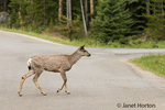 Mule Deer doe crossing the road