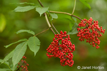 Red Elderberry tree with red berries