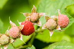 Cluster of Thimbleberries