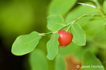 Ripe red Huckleberry growing on a shrub