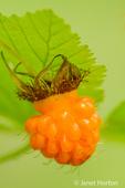 Salmonberry bushes produce yellow or reddish mushy, edible berries.