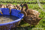 Khaki Campbell ducks drinking from a wading pool