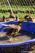 Khaki Campbell duck bathing in a wading pool