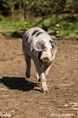 Gloucestershire Old Spots pig running