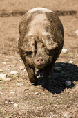 Muddy Gloucestershire Old Spots pig