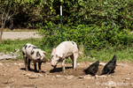 Gloucestershire Old Spots pigs grubbing next to free-range Black Australorp chickens eating