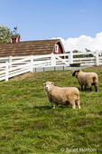 Coopworth and Romney Southdown crossbreed sheep at Kelsey Creek Farm