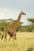 Masai Giraffe mom and baby nursing
