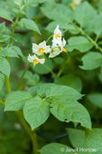 The potato plant flowers for the same reason all plants flower: to sustain the species from season to season providing seed for the next generation.