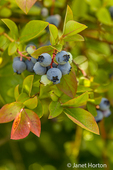 Blueberries growing at Bybee Farms U-Pick Blueberry farm