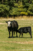 Holstein calf nursing from cow in pasture