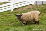 Romney Southdown crossbreed sheep at Kelsey Creek Farm