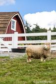 Coopworth sheep at Kelsey Creek Farm