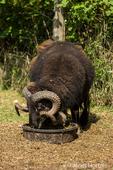 Icelandic heritage breed of sheep