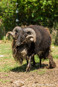 Icelandic heritage breed of sheep at Dog Mountain Farm