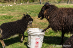 Icelandic heritage breed of sheep, with the older one claiming the feed bucket, at Dog Mountain Farm