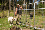 Woman trying to get an Icelandic heritage breed of sheep back into its pen after shearing it, at Dog Mountain Farm