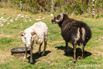 One freshly shorn and one unshorn Icelandic heritage breed of sheep at Dog Mountain Farm