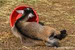 """Surely there must be more food here!"" says the African Pygmy Goat kid playing with its food bowl"