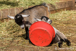"""""""Why is my food bowl fighting with me?""""  says the African Pygmy goat kid as it upends on him when he plays with it"""