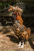 Polish are a very special and unique breed of chicken with their huge bouffant crest of feathers and v-shaped comb.
