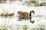Canada Goose and chicks swimming