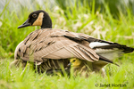 Canada Goose chicks hide under their mother's wings for warmth and protection