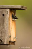 Tree Swallow at nesting box