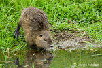 Nutria about to go swimming in a pond