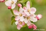 Close-up of apple blossoms in the
