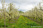 Apple orchard in blossom