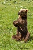 Grizzly Bear sitting up with paws together, as if in prayer