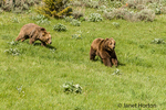 Grizzly Bears running in a meadow