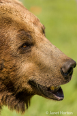 Close-up of Grizzly Bear in meadow